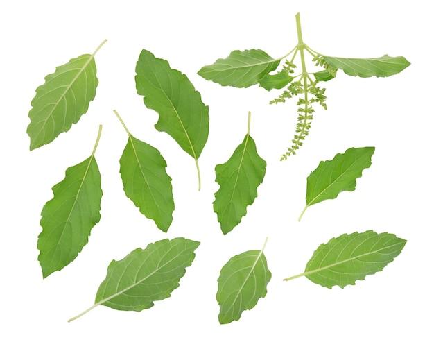 Folhas de manjericão isoladas no fundo branco. vista do topo. postura plana