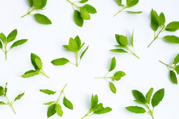 Folhas de manjericão sagrado em fundo branco.