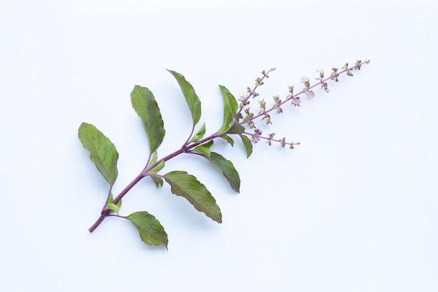 Folhas de manjericão santo com flor