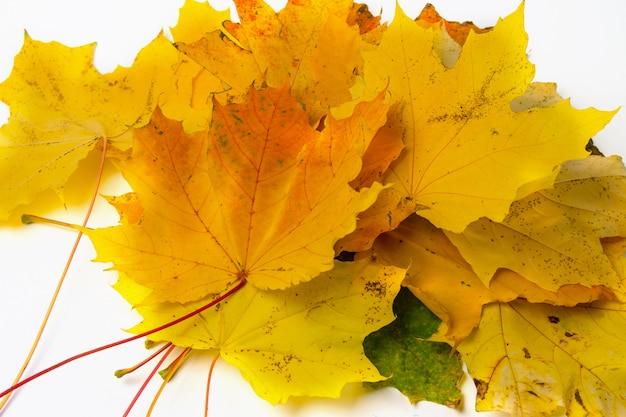 Folhas de maple outono amarelo