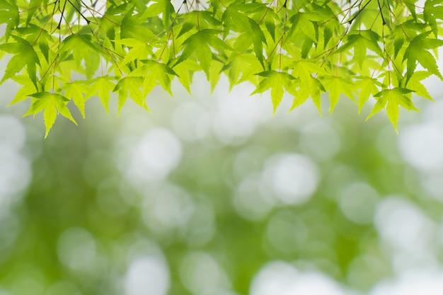 Folhas de maple verde luz fresca no bokeh de fundo claro para o conceito de primavera verão