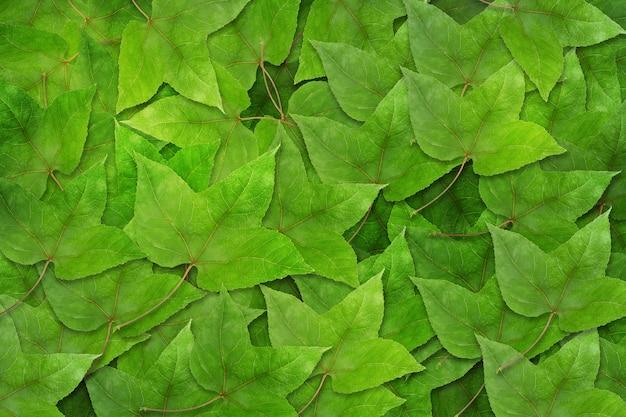 Folhas de maple verde secas no fundo de folhas de plátano