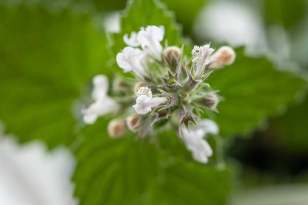Folhas de menta. close up da planta de hortelã flor fresca vividamente verde.