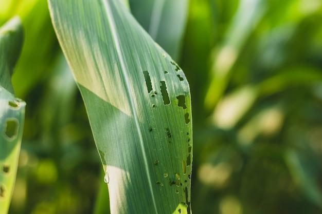 Folhas de milho com picadas de insetos, conceitos de pragas.