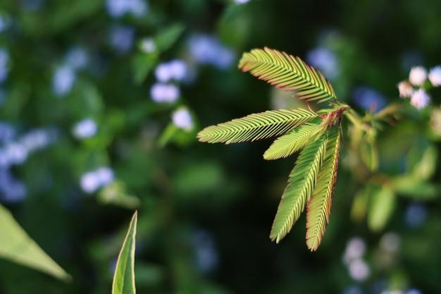 Folhas de mimosa close-up