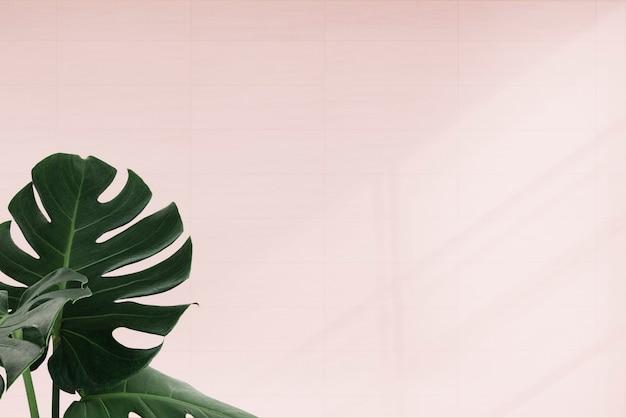 Folhas de monstera tropical em fundo rosa