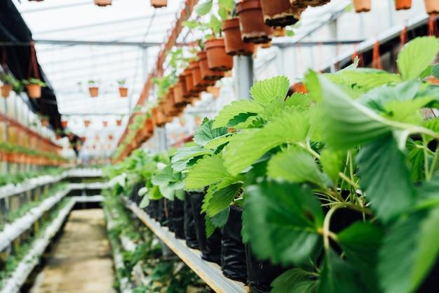 Folhas de morangueiro na passagem interna de um viveiro de plantas