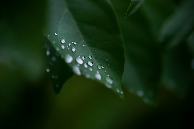 Folhas de orvalho, gotas de chuva que seguram folhas verdes depois da chuva