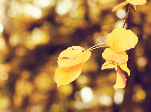 Folhas de outono amarelas brilhantes sob a luz solar. fundo sazonal