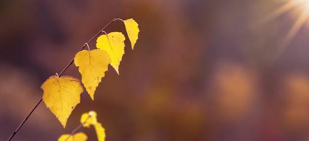 Folhas de outono amarelas em um fundo escuro com luz solar