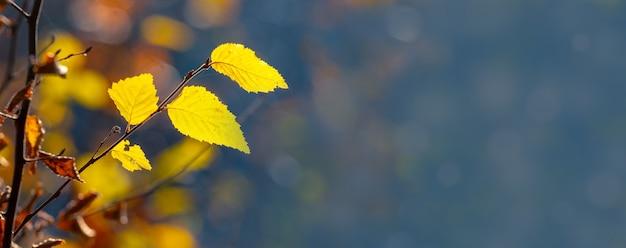 Folhas de outono amarelas na floresta em um fundo azul desfocado, copie o espaço