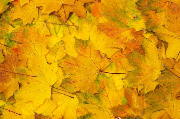 Folhas de outono amarelo