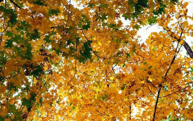 Folhas de outono bonitas do close up do bordo amarelo. fundo abstrato do outono com bordo dourado.