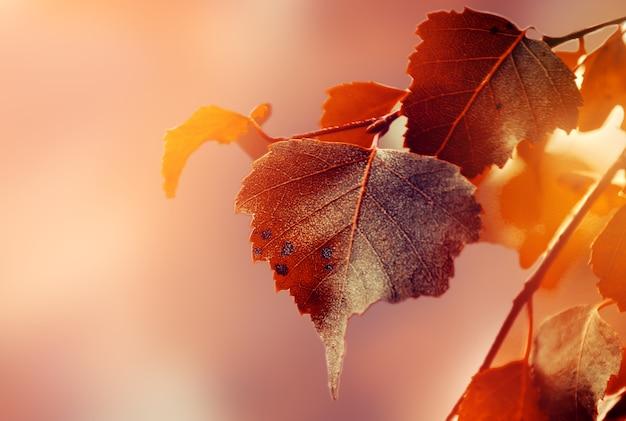 Folhas de outono bonitas no outono fundo vermelho luz solar ensolarada horizontal
