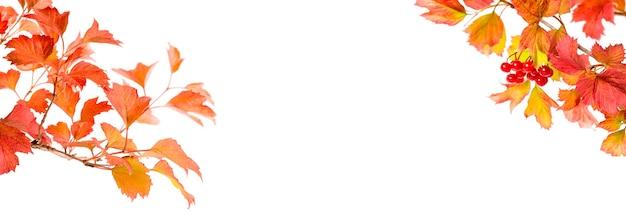 Folhas de outono brilhantes de viburnum isoladas na bandeira branca.