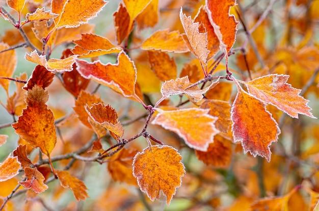 Folhas de outono brilhantes são cobertas com gelo. a primeira geada.
