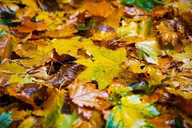 Folhas de outono caídas de uma árvore. a chuva cai sobre eles