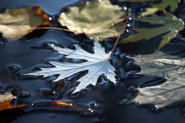 Folhas de outono caídas em uma poça