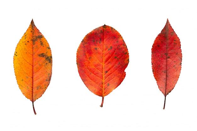 Folhas de outono coloridas bonitas isoladas no fundo branco