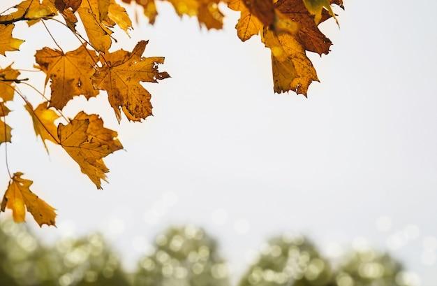 Folhas de outono contra fundo branco do céu, folhagem de outono amarela e marrom com céu sombrio