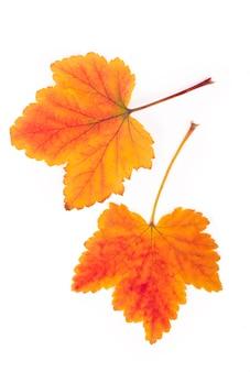 Folhas de outono de groselha vermelha isoladas na superfície branca