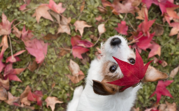 Folhas de outono do cão. jack russell retrato com uma folha vermelha sobre a cabeça
