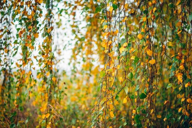Folhas de outono do close-up da árvore de vidoeiro.