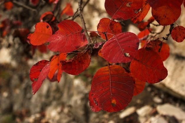 Folhas de outono e outono, close-up colorido da natureza. cores laranja, vermelhas e amarelas na superfície da natureza. geórgia.