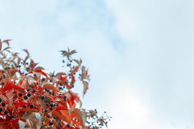Folhas de outono multicoloridas de uvas em um fundo de um céu charmoso. textura natural de outono.