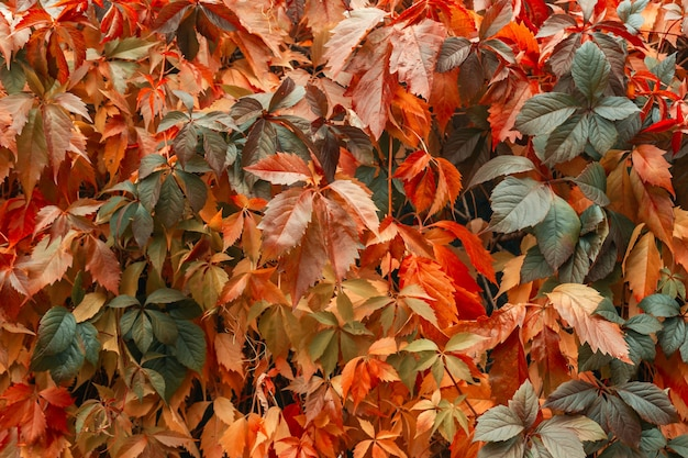 Folhas de outono multicoloridas de uvas. textura natural de outono.
