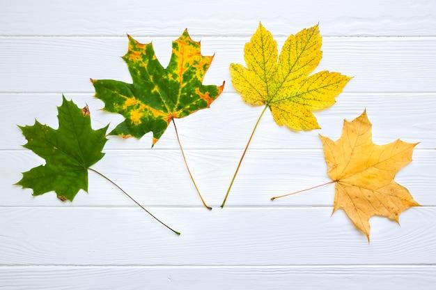 Folhas de outono reais em fundo branco de madeira. foto sazonal. copie o lugar do espaço. cartão postal de novembro. cor gradiente de verde a amarelo.