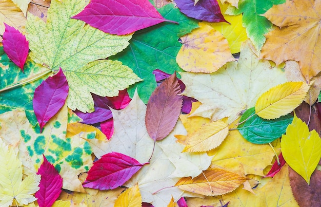 Folhas de outono reais. foto colorida sazonal. cores amarelas e verdes com textura. copie o lugar do espaço. cartão postal de novembro. natureza bela.