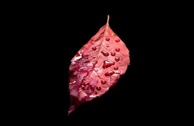 Folhas de outono reais isoladas em fundo preto. foto sazonal.