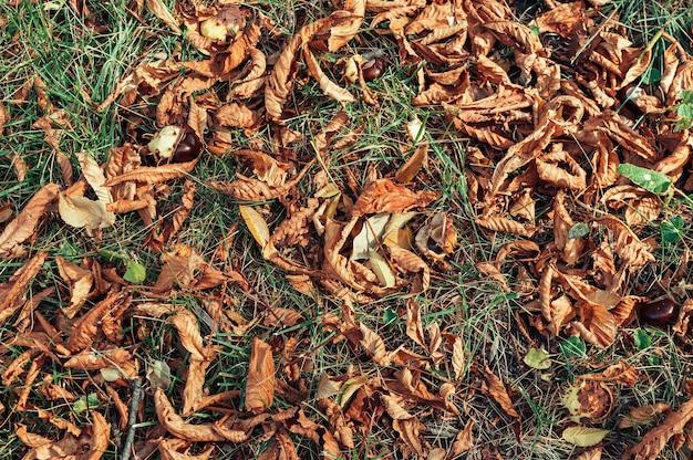Folhas de outono secas de closeup de bordo amarelo na grama. fundo abstrato do outono com bordo dourado.
