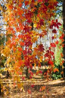 Folhas de outono vermelhas alaranjadas de uvas bravas penduram na parede