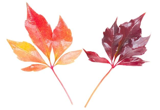 Folhas de outono vermelhas isoladas em fundo branco