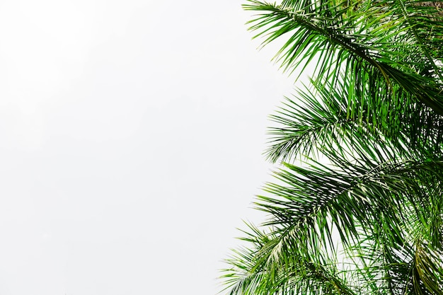 Folhas de palmeira contra fundo branco