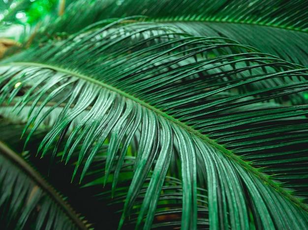 Folhas de palmeira em um ambiente natural. vegetação rica. plantas no jardim botânico.
