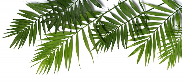 Folhas de palmeira isoladas