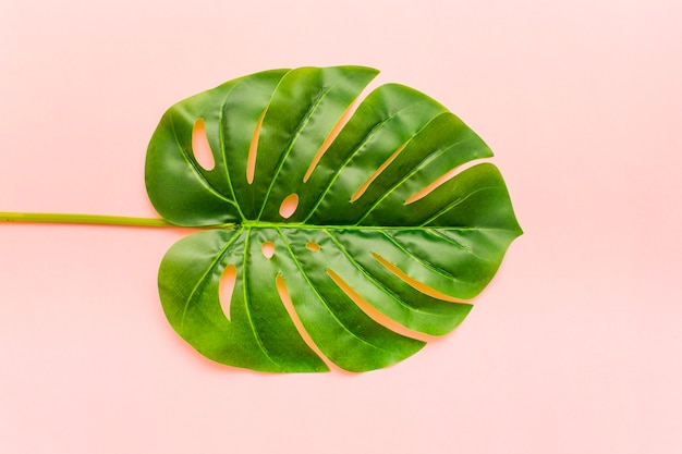 Folhas de palmeira monstera tropical