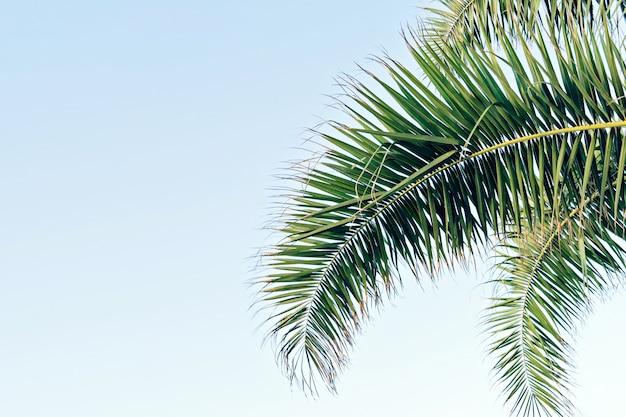 Folhas de palmeira no céu azul com espaço de cópia