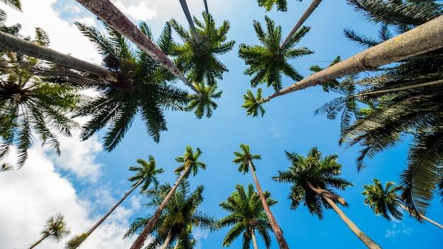 Folhas de palmeira real com um lindo céu azul no rio de janeiro, brasil.