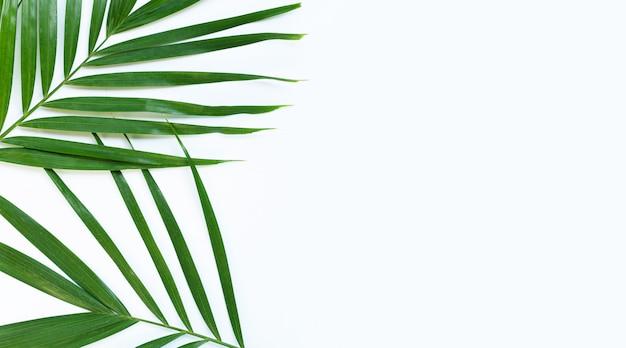 Folhas de palmeira tropical em fundo branco. copie o espaço