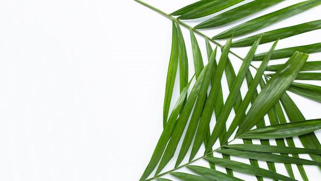 Folhas de palmeira tropical em fundo branco.