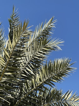 Folhas de palmeira tropical exótica no verão contra o céu azul Foto Premium