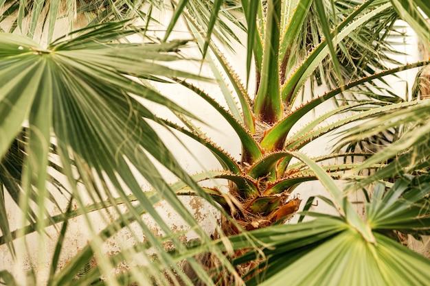 Folhas de palmeira verde linda cresce selvagem em um lugar tropical com parede branca atrás