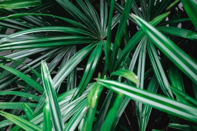 Folhas de palmeira verde natural
