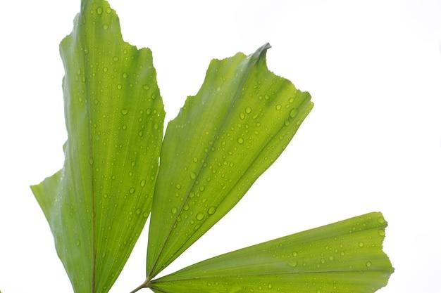 Folhas de palmeira verdes sobre fundo branco.