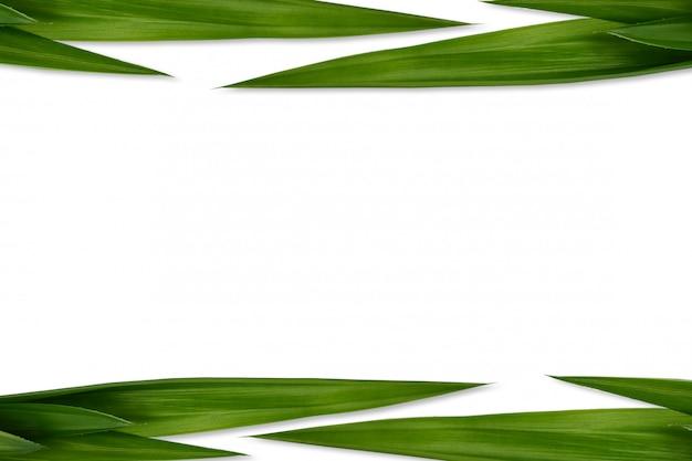 Folhas de pandan verde fresco fundo branco isolado