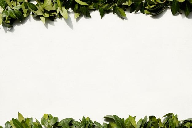 Folhas de pervinca em fundo branco. quadro de folhagem verde. floricultura, botânica e decoração natural. conceito de espaço livre.